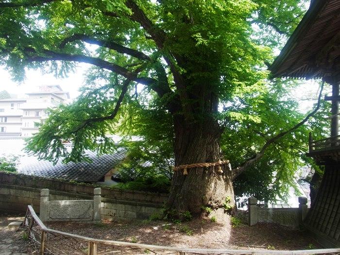 愛染カツラは縁結びの霊木として...